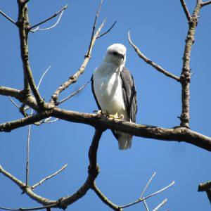1811-Gavião-pombo-grande