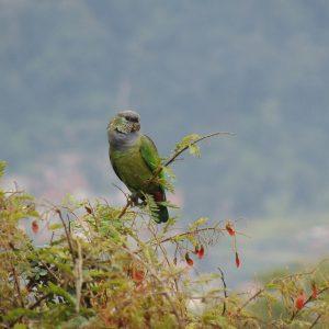 1820-Maitaca-verde