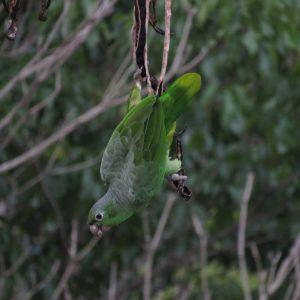 1828-Papagaio-moleiro