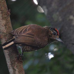 1836-Pica-pau-anão-barrado
