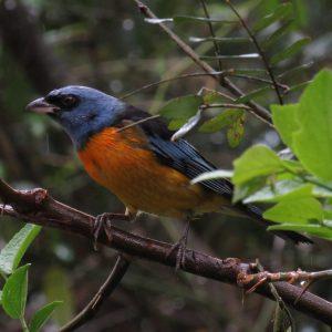 1928-Sanhaçu-papa-laranja